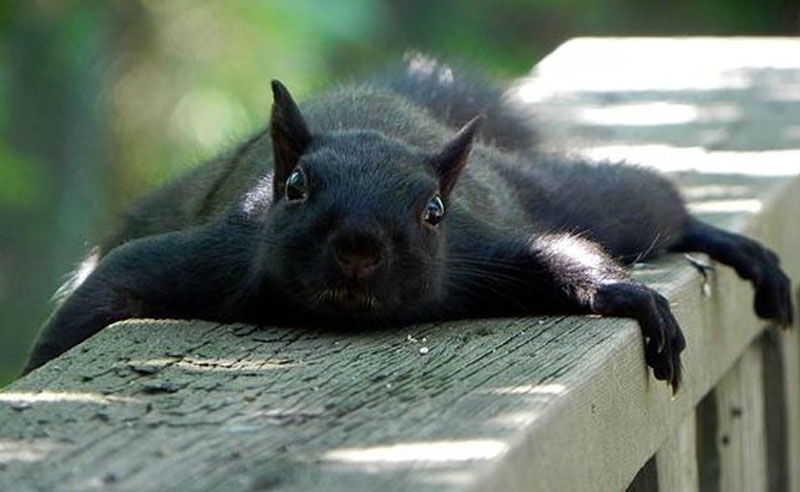 Why Black Squirrels At Kent State Are Such A Big Deal - Society19